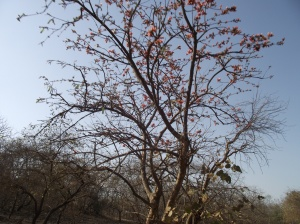 Tesu (Keshudo) in Gujarat