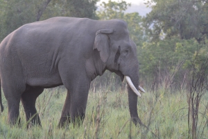 The Huge Tusker