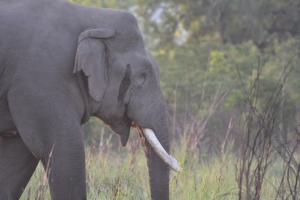 The Musth Elephant