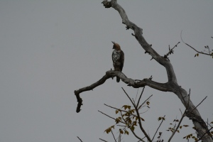 White Crested Hawk Eagle